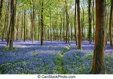 wepham, bosque, bluebells