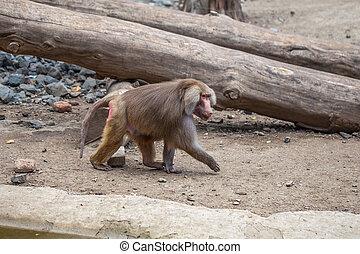 wereld, tbilisi, dieren, aap
