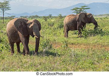 werkende, olifanten, boeiend, park, twee, samburu