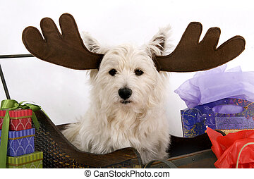 West Highland Terrier wearing reindeer antlers and surrounded by Christmas gifts