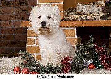 West haigland white terrier, christmas