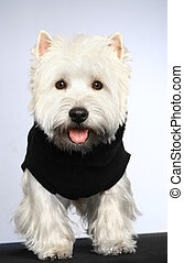 West haigland white terrier