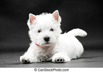 West Highl West Highland White Terrier on black background