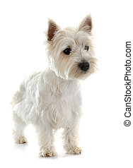 west highland terrier in front of white background