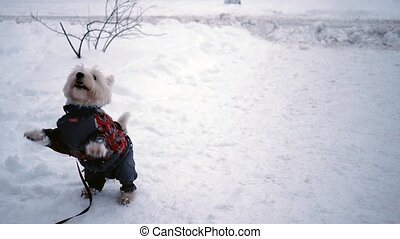 West highland terrier jumping on the snow