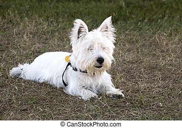 West Highland Terrier Laying Down on the Grass.
