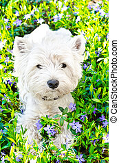 west highland terrier on the grass