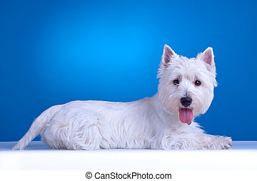 west highland terrier - west highland white terrier laying...
