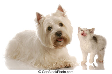 west highland white terrier and kitten on white background