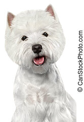 West Highland White Terrier. Close-up portrait on a white...
