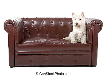 West highland white terrier dog sitting up on a couch, on a...