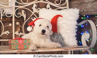 West highland white terrier dog wear Santa hat. - West...