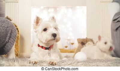 West highland white terrier dogs waiting for Christmas.