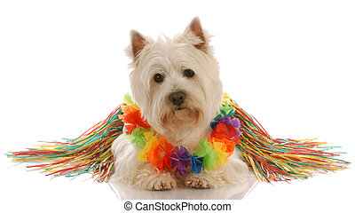 west highland white terrier dressed up as a hula dancer