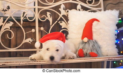 West highland white terrier in Christmas interior room.
