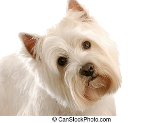 west highland white terrier isolated on white background