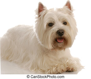 west highland white terrier laying down on white background