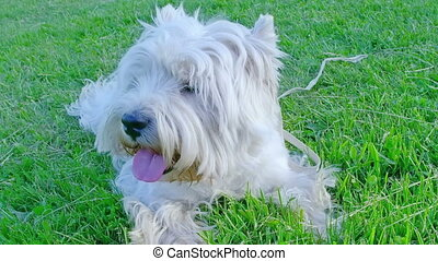 West Highland White Terrier lying on a green meadow.