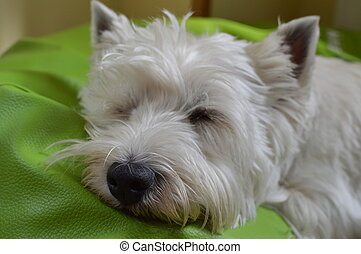 West Highland White Terrier Lying On His Bed Sleeping. Westy. Nature, Dog, Pet, Portrait. May 26, 2018. Madrid. Spain.