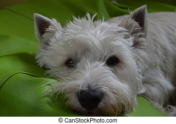 West Highland White Terrier Lying On His Bed. Westy. Nature, Dog, Pet, Portrait. May 26, 2018. Madrid. Spain.
