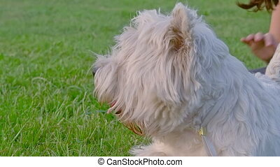 West Highland White Terrier on a green meadow.