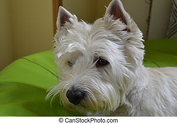 West Highland White Terrier On Alert. Westy. Nature, Dog, Pet, Portrait. May 26, 2018. Madrid. Spain.