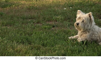 West highland white terrier on the green grass in the garden outside. Furry pure breed terrier dog on the lawn in the back yard