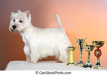 West highland white terrier