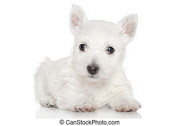 West highland white terrier puppy