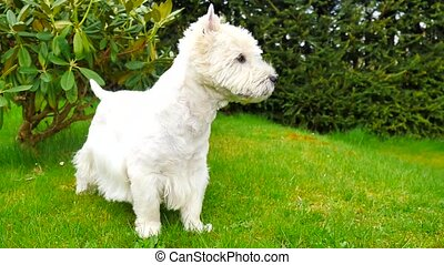West Highland White Terrier sitting on the fresh green grass in the garden. The dog watches the surroundings and is alert, it suddenly starts to run