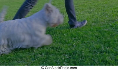 West Highland White Terrier walking - Girl and West Highland...