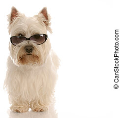 west highland white terrier wearing cool sunglasses on white...
