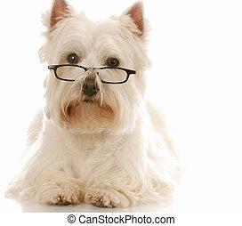 west highland white terrier wearing dark framed reading...
