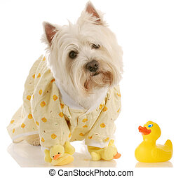 west highland white terrier wearing duckie jammies and...