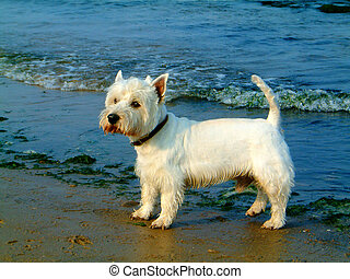 West highland white - west highland whote on the beach