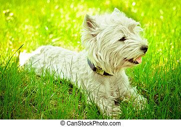 west hochland terrier