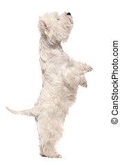 west hochland weißes terrier, auf, beine