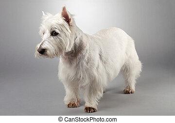 west hochland weißes terrier