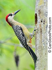 West Indian Woodpecker (Melanerpes superciliaris) . Cuba