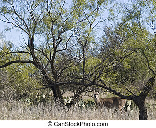 west Texas deer has spotted the photographer
