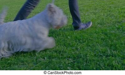 westelijke wite highland terrier, wandelende