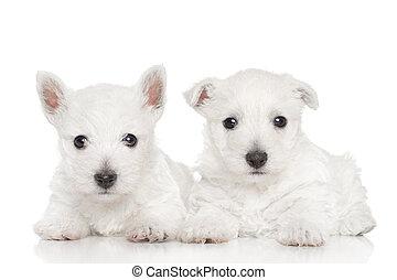 westen, hochland, weißes, terrier