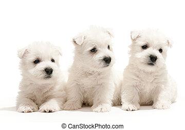 Westen, weißes, hochland,  terrier, hundebabys