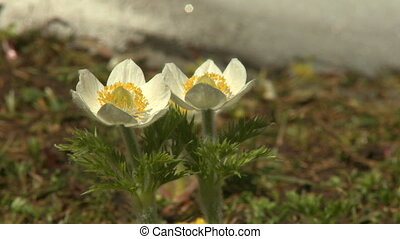 Western Anemone wildflowers - Pair of Western Anemone alpine...