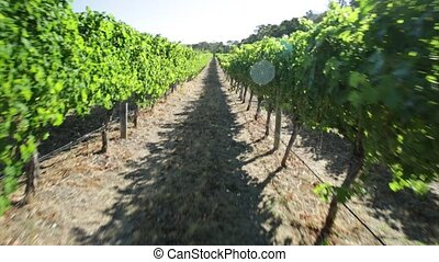 Western Australia Vineyard - POV walking in a rows of white...