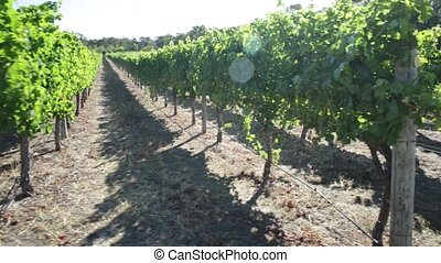 Western Australia Wineries - Landscape walking in rows of...