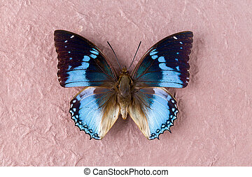 Western Blue Charaxes butterfly
