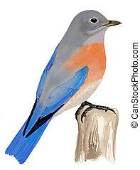 Western Bluebird - female - Sialia mexicana