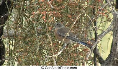 Western Bluebird Foraging - Western Bluebird foraging.