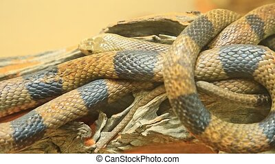 Western brown snake or gwardar in a natural red sand background. Pseudonaja nuchalis species is an Australian venomous snake. Elapidae snakes family. Living in northern and eastern Australia.